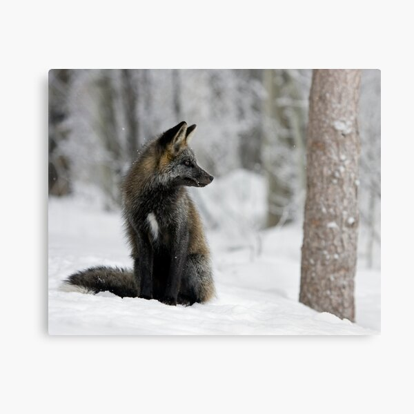 Silver Fox in Snow Metal Print