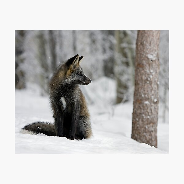 Silver Fox in Snow Photographic Print