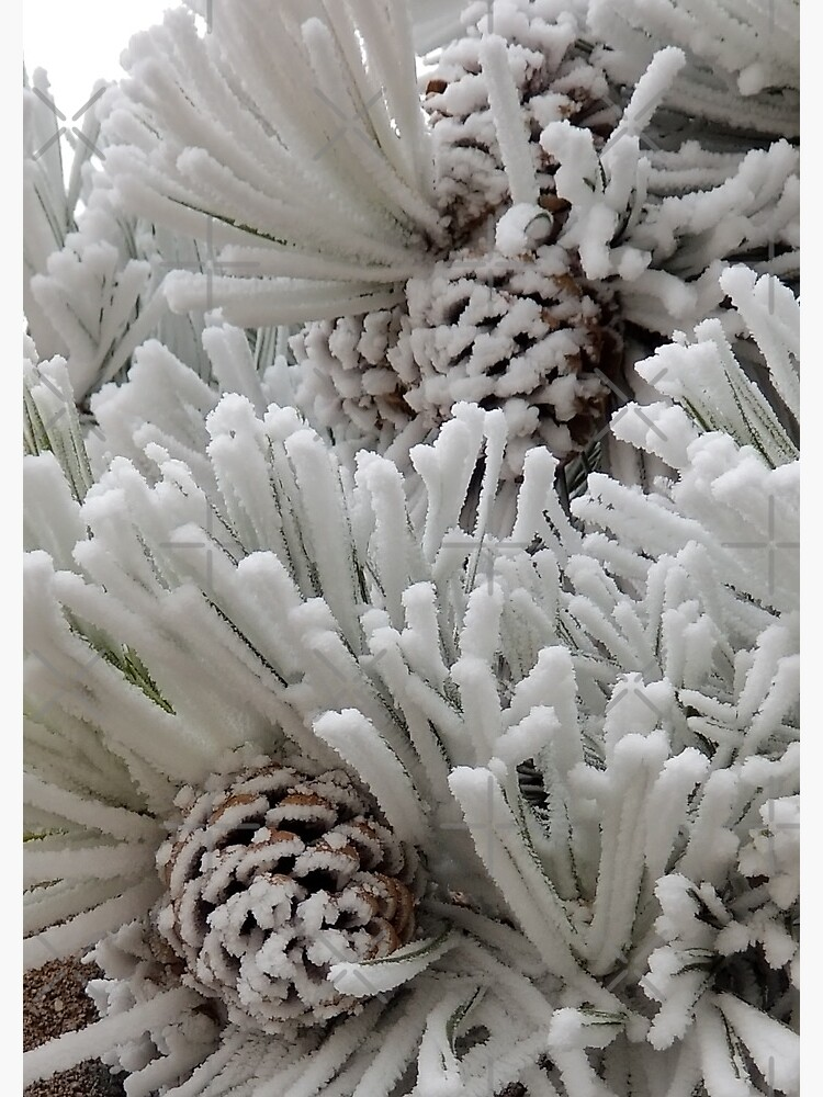 Frosted Pine Cones Winter Wonderland by snohock