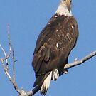 PNW Raptor - Bald Eagle by tkrosevear