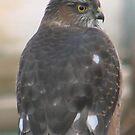 PNW Raptor - Merlin Falcon by tkrosevear