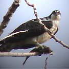 PNW Raptor - Osprey by tkrosevear