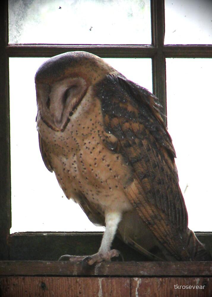 PNW Raptor - Barn Owl by tkrosevear