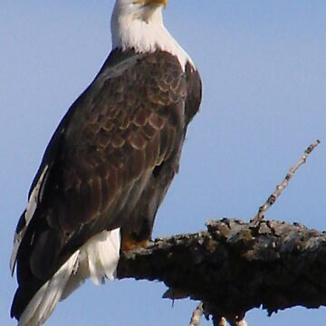 PNW Raptor - Bald Eagle2 by tkrosevear
