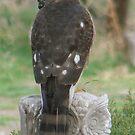PNW Raptor - Merlin Falcon2 by tkrosevear