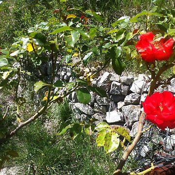 poppies by DrFrankenbaum