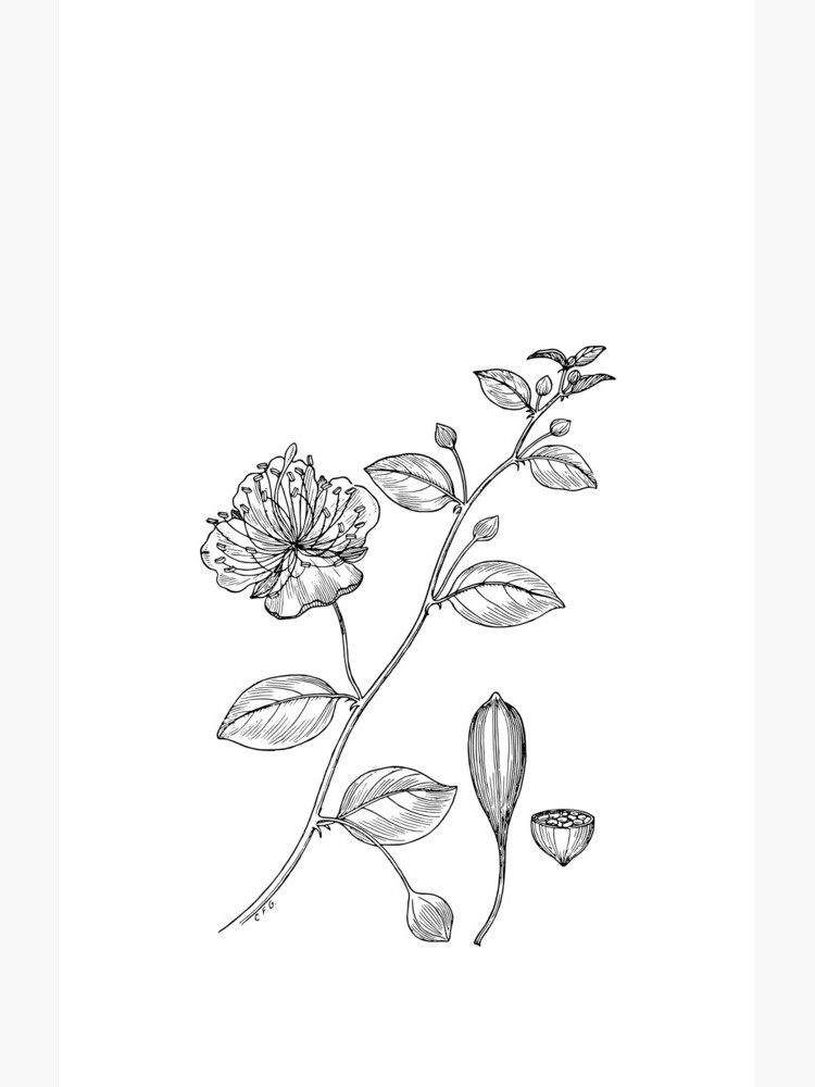 Botanical Scientific Illustration Black and White Caper  by pahleeloola