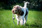 Brown Roan Italian Spinone Dog Playing With A Toy by heidiannemorris
