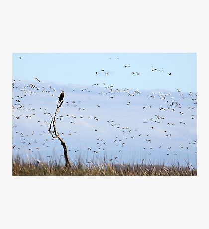 Bald Eagle and Snow Geese Photographic Print