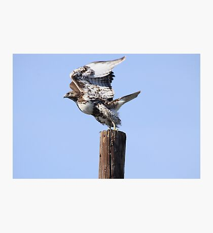 Hawk Take Off Photographic Print