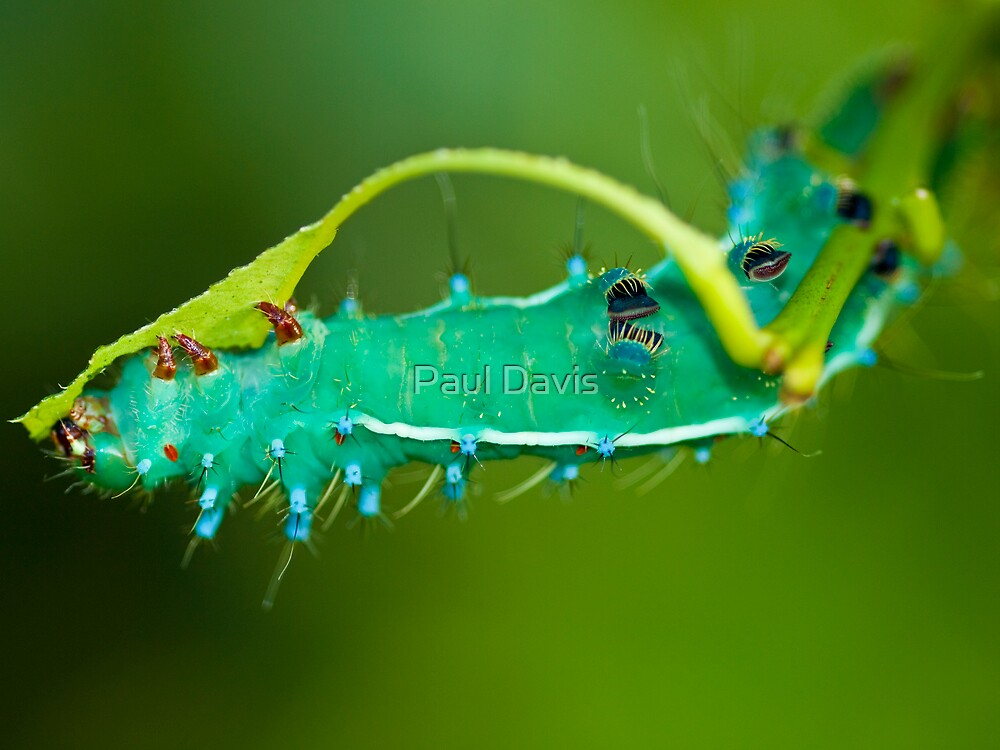 The Clappy Caterpillar  by Paul Davis