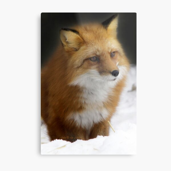 ... waiting for spring here in Quebec Canada... Metal Print