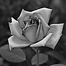 The Rose by GailD