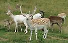 Group Of Fallow Deer by Ginny York