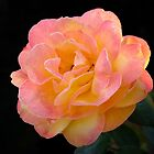 Tropical Sunset Rose by RickDavis