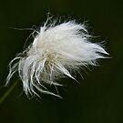 Veenpluis - Eriophorum Angustifolium by Hans Bax
