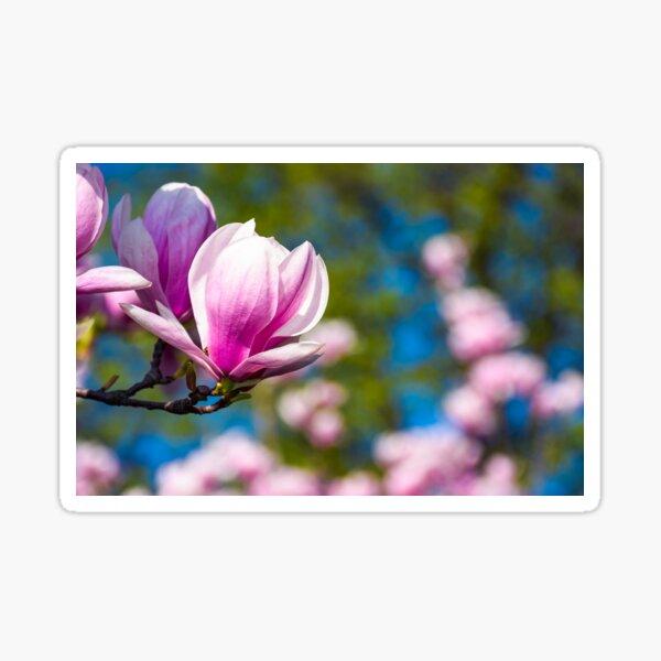 Magnolia flower blossom in spring Sticker