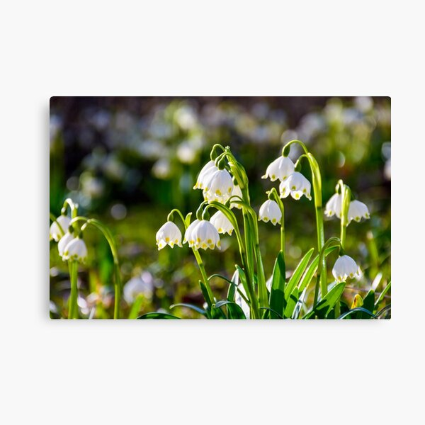 Beautiful blooming of White spring Snowflake Canvas Print