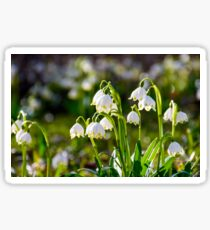 Beautiful blooming of White spring Snowflake Sticker