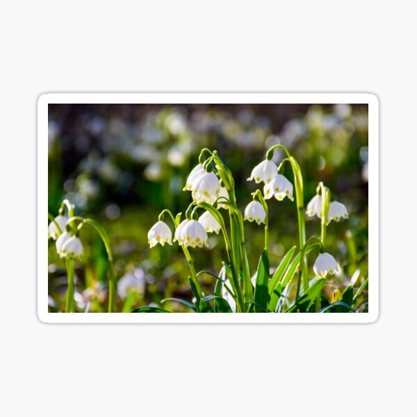 Beautiful blooming of White spring Snowflake Sticker