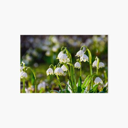 Beautiful blooming of White spring Snowflake Art Board Print