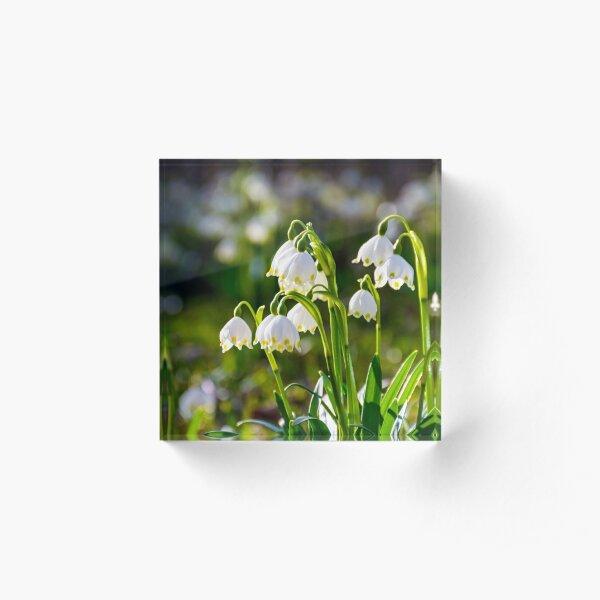 Beautiful blooming of White spring Snowflake Acrylic Block
