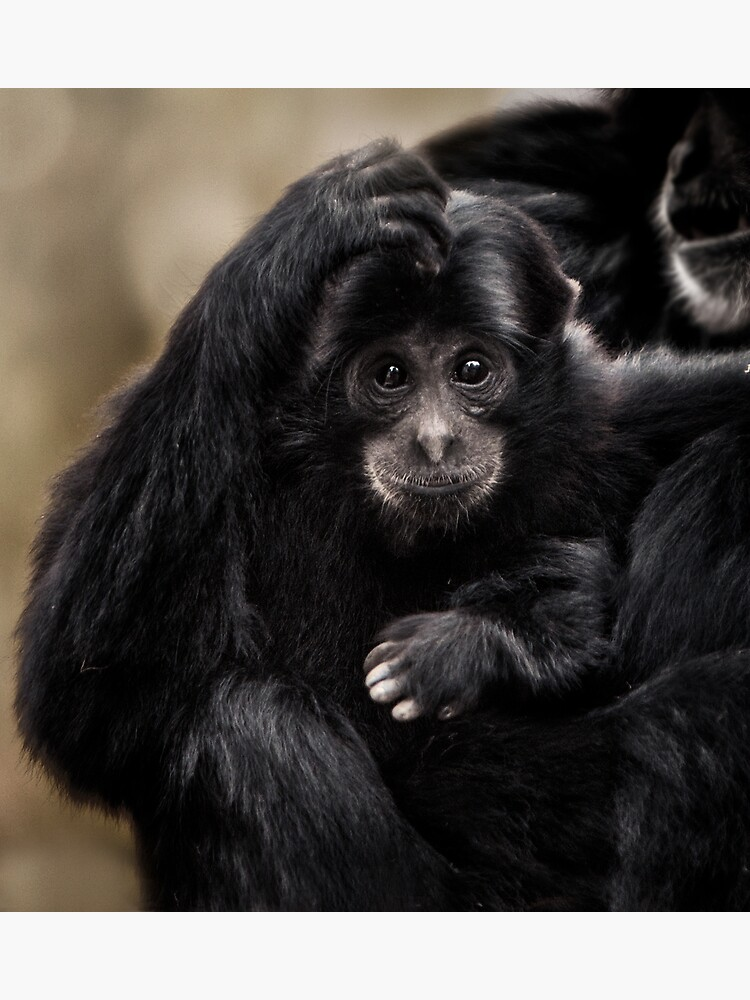 Siamang by Durberville