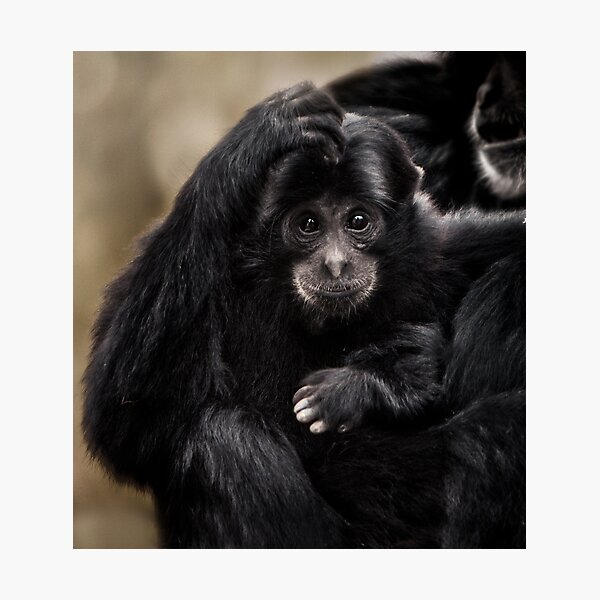 Siamang Photographic Print
