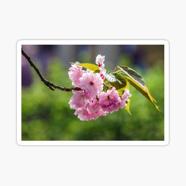 blossom of cherry tree in springtime Sticker