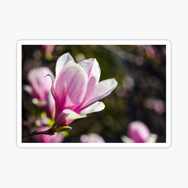blossom of magnolia tree in springtime Sticker