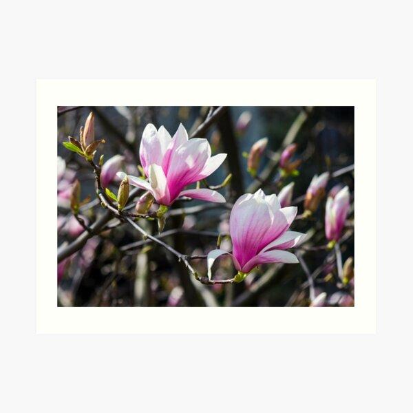 blossom of magnolia tree in springtime Art Print