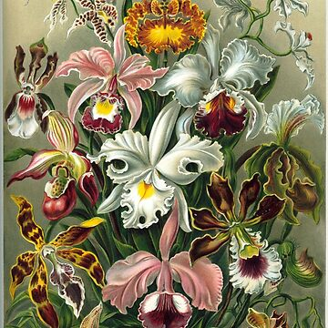 E HAECKEL Orchids 1899 by TheGrandTour
