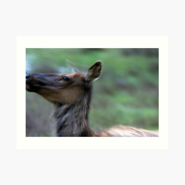 Elk Cow Alarmed Art Print