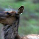 Elk Cow Alarmed by A.M. Ruttle