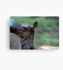 Elk Cow Alarmed Canvas Print