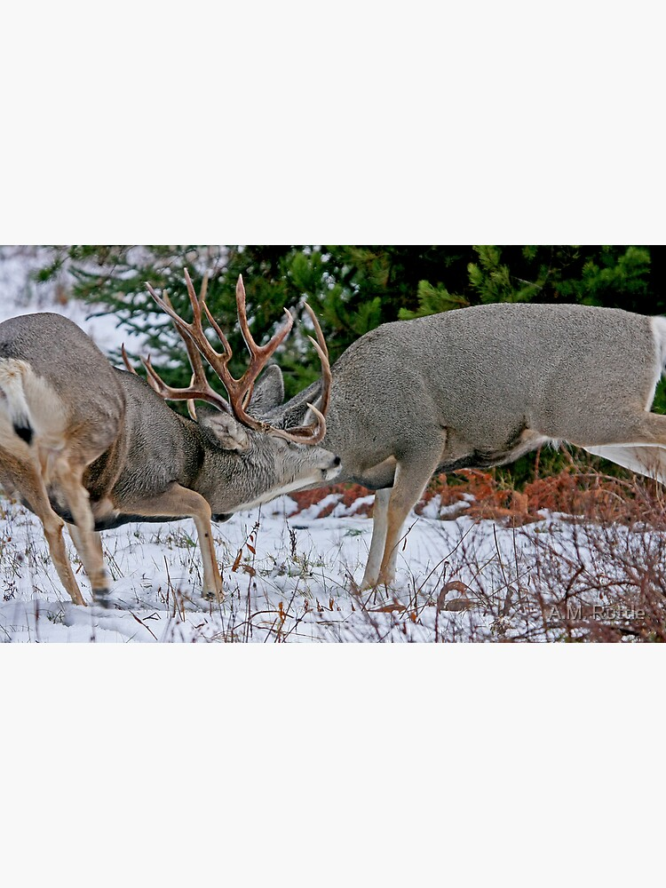 Mule Deer Buck Fight 2 by annruttle