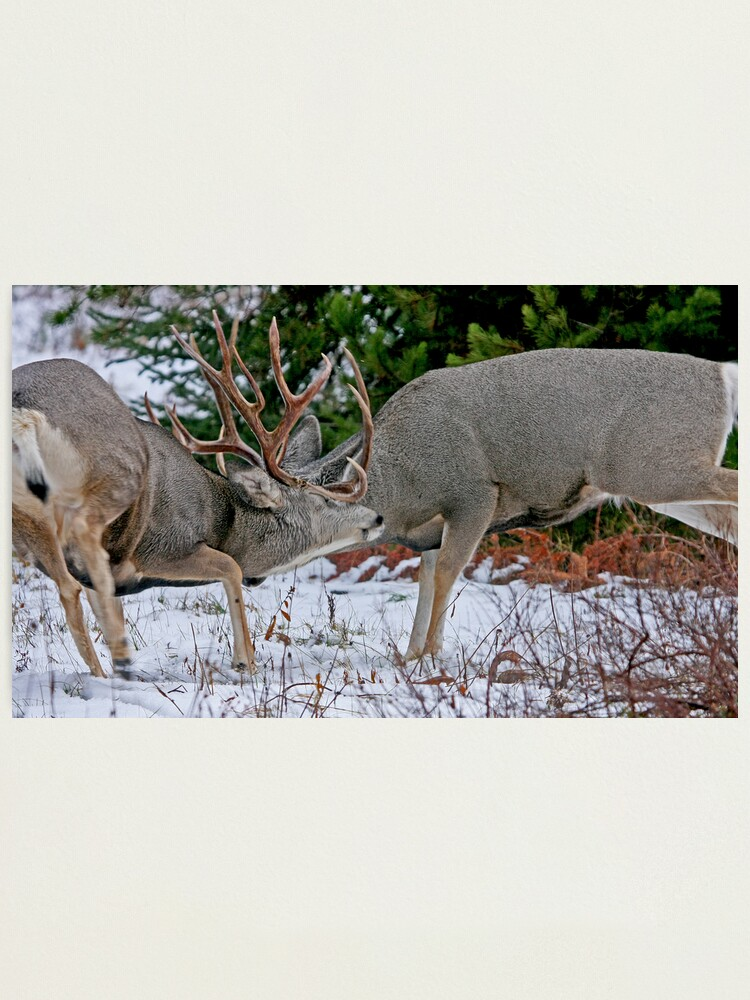 Alternate view of Mule Deer Buck Fight 2 Photographic Print