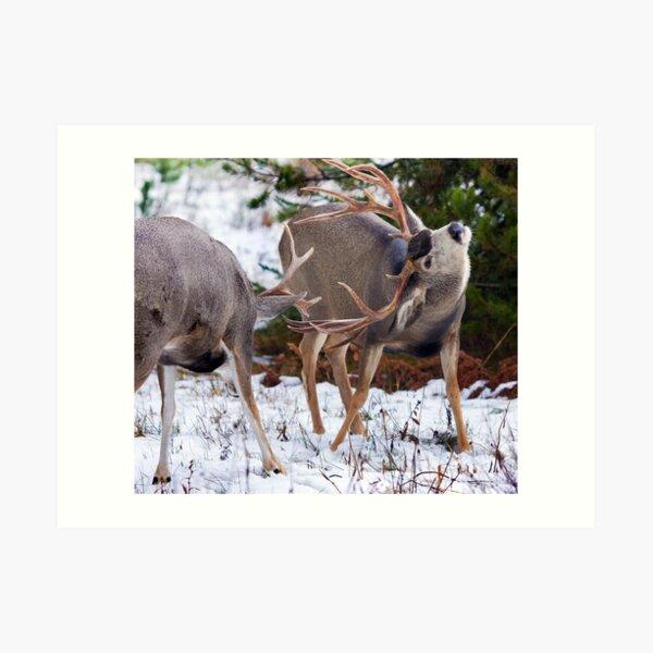 Mule Deer Buck Fight 3 Art Print