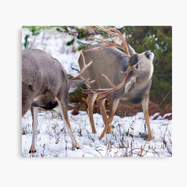 Mule Deer Buck Fight 3 Metal Print