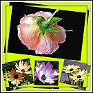 Sonnenschein und Regen - Rose und Kap-Gänseblümchen Collage von BlueMoonRose