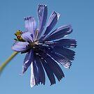 ~Chicory~ by Debra LINKEVICS