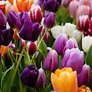 Tulips by Taylor T