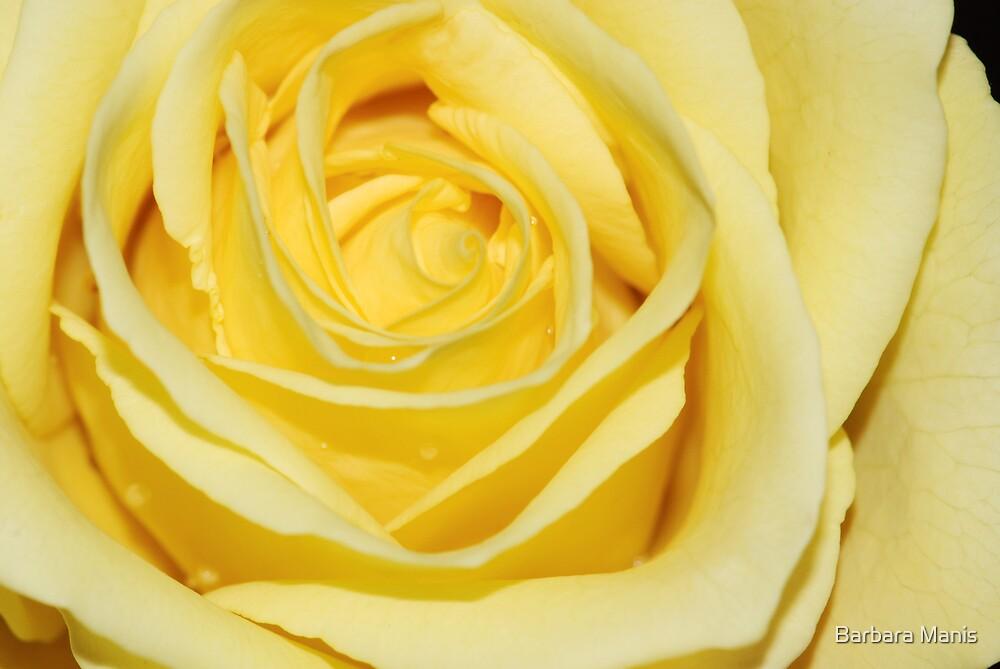 Sunshine Rose by Barbara Manis