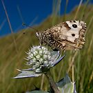 Thistle and butterfly by Rémi Bridot