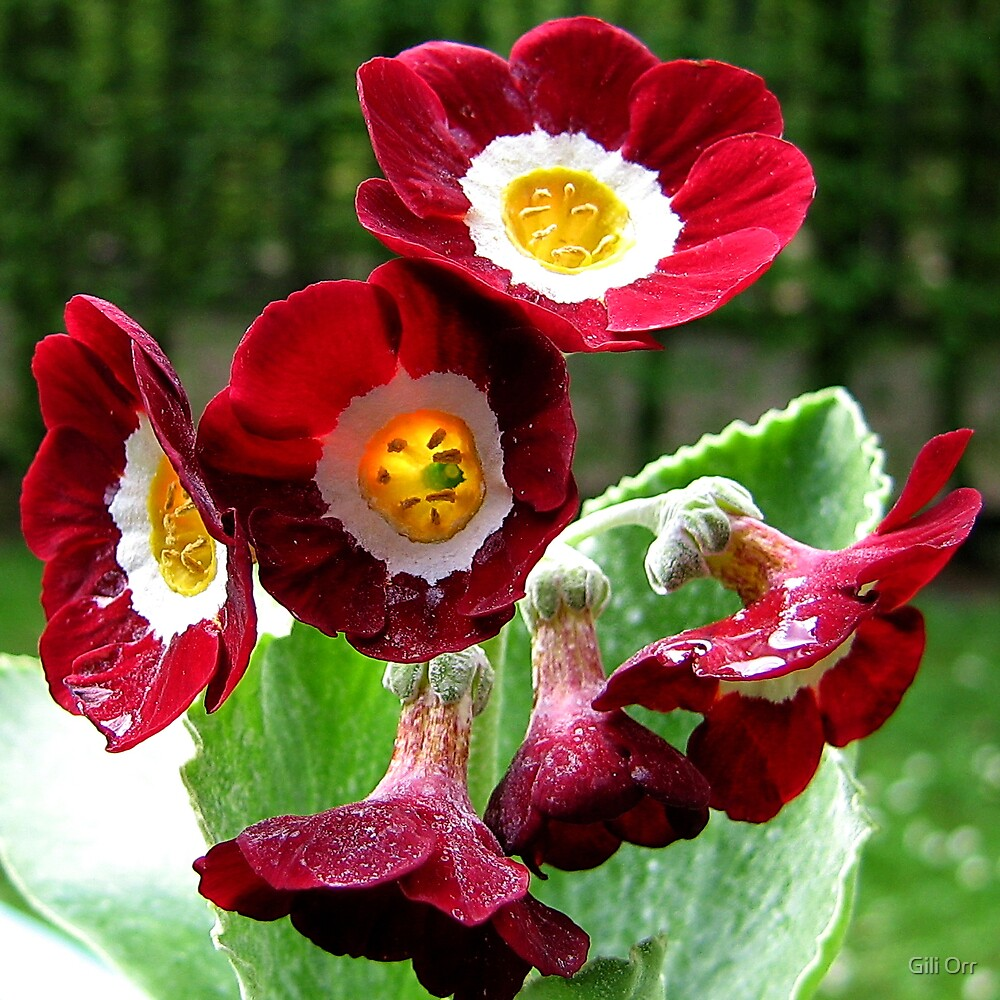 Red garden primula  by Gili Orr