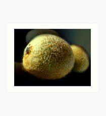 Kiwifruit Art Print
