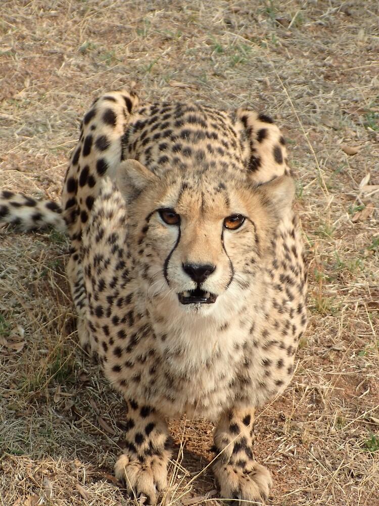 Cheetah by Steven Boeynaems