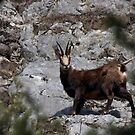 Chamois - that's my playground.... by Stefan Trenker