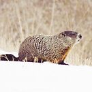 Whistle Pig in the Snow  by lorilee