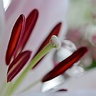 Lily Blush by Astrid Ewing Photography